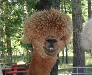 camel with a perm
